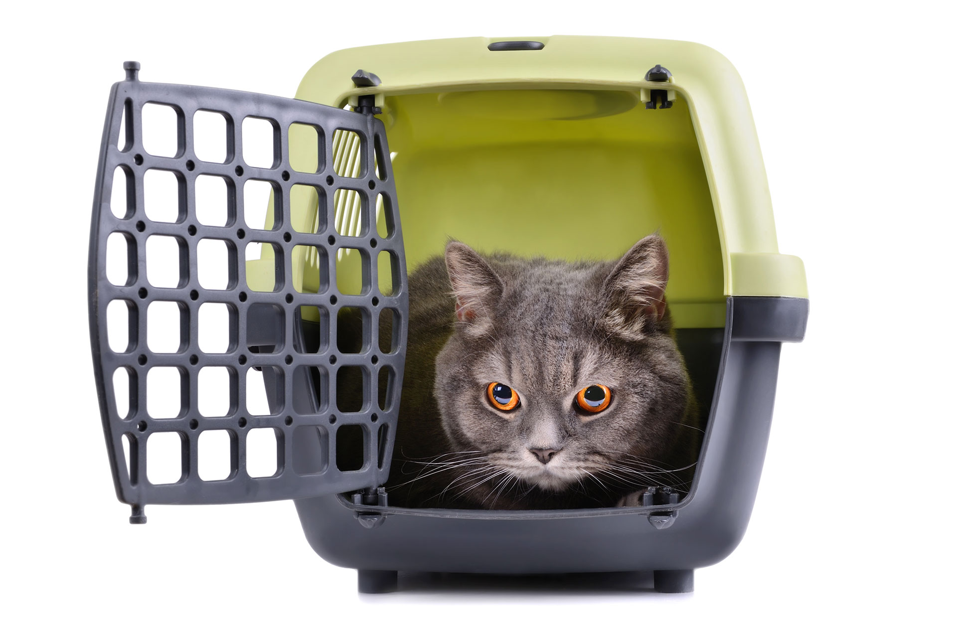 british shorthair cat in kennel