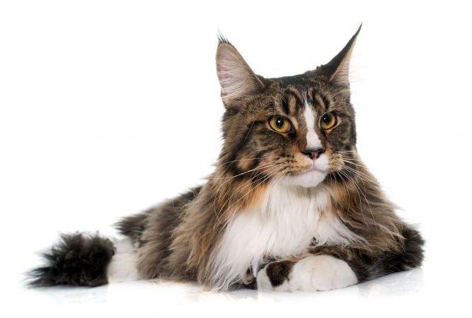 maine-coon-cat-